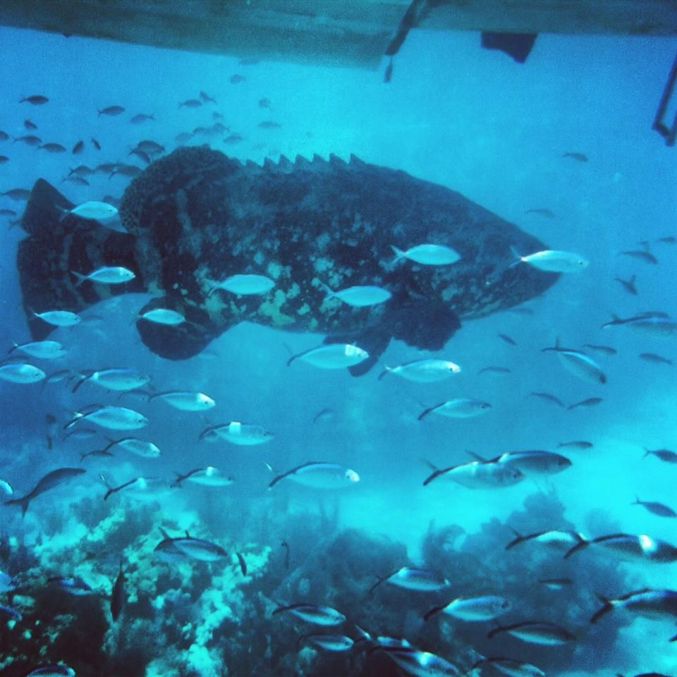 This beautiful Goliath Grouper hung out under our boat