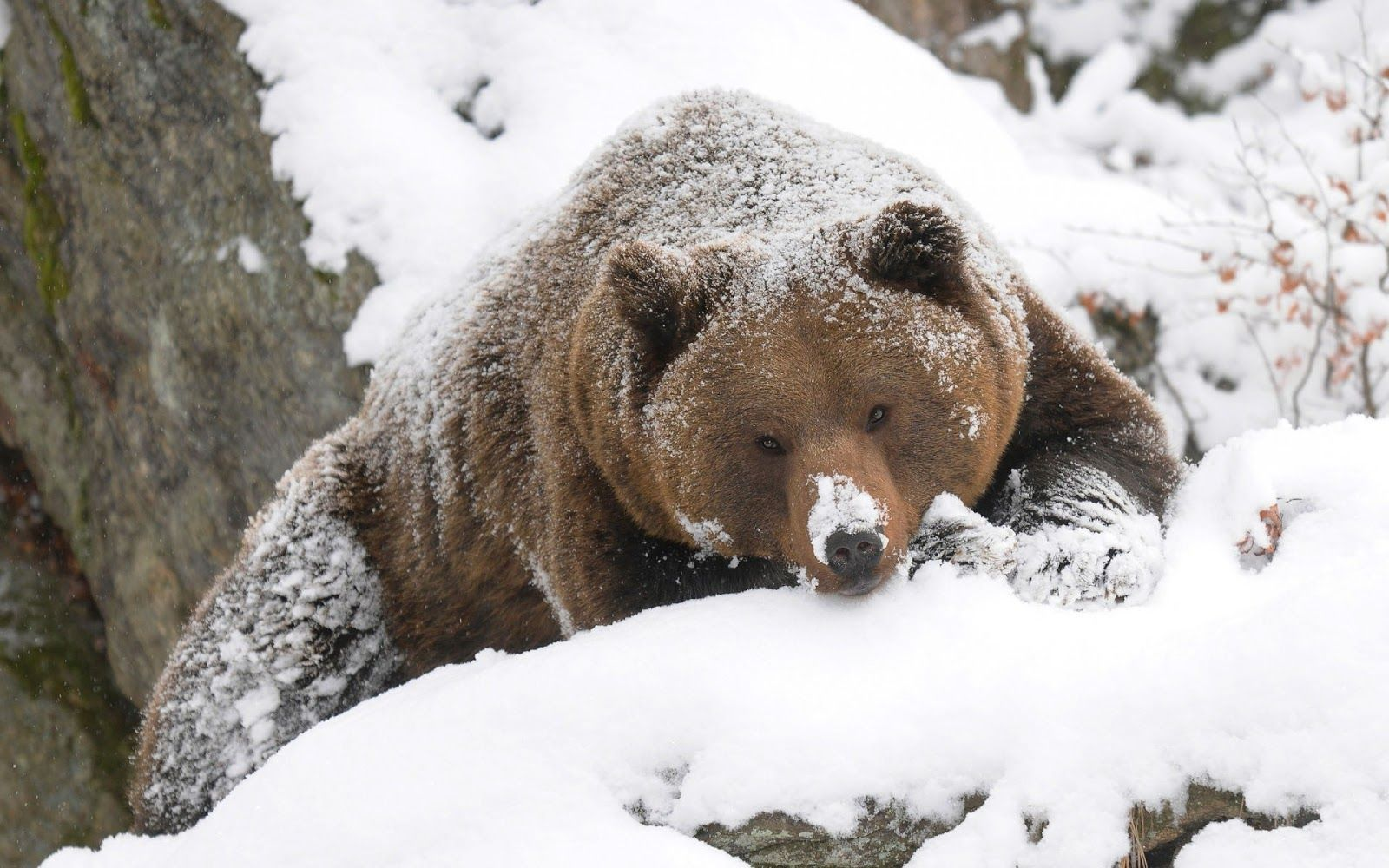 winter bear beautiful wallpaper of a grizzly bear. Black Bedroom Furniture Sets. Home Design Ideas