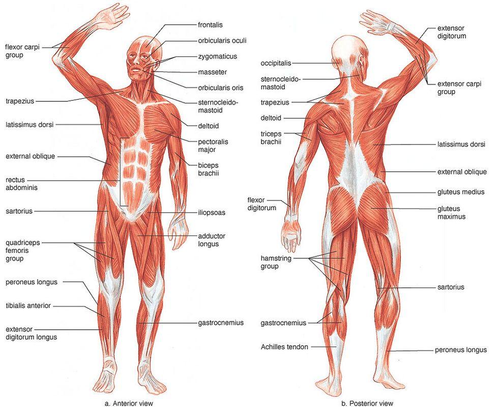 human muscle facts – tikuzan, Muscles