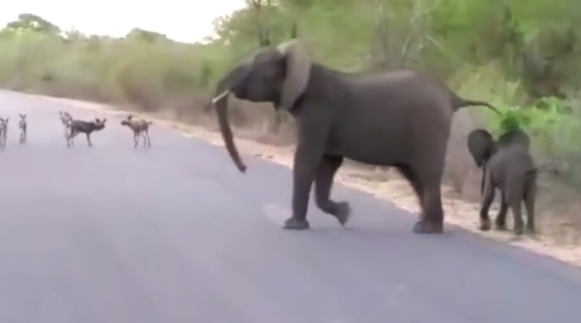 A pack of wild dogs learn a valuable lesson: Don't mess with an elephant mama!