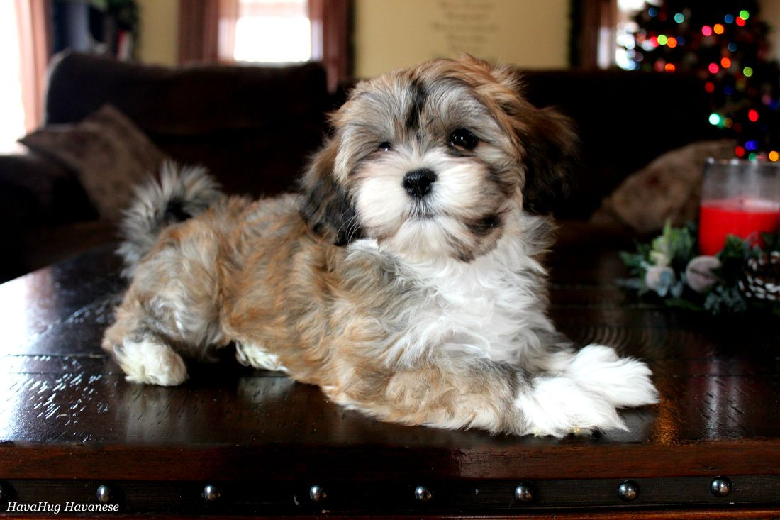 The cutest havanese puppies. Havanese puppies, Havanese