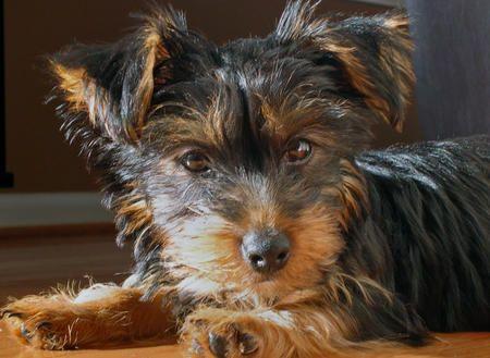 Bella the Yorkshire Terrier