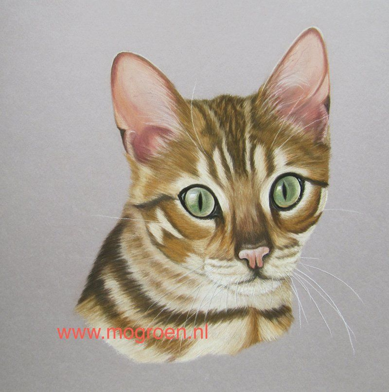 Nala, Bengaals kitten by mo62 Kittens, Graphite drawings