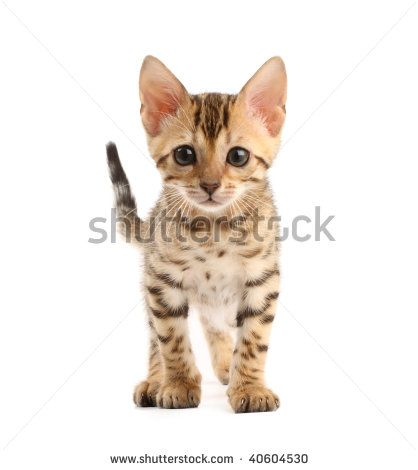 Bengal Kitten Stock Photos, Images, & Pictures | Shutterstock