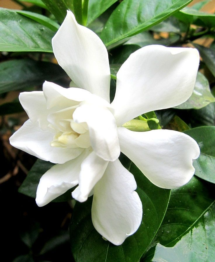 Gardenia petal shape google search sugar flowers pinterest they call her the queen of fragrant flowers gardenia gardenia augusta is a popular evergreen shrub that produces white rose shape flowers throughout the mightylinksfo