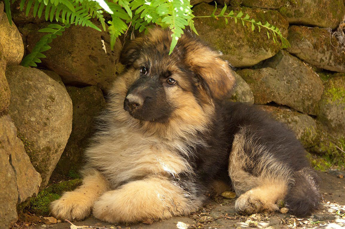 Long Haired German Shepherd Puppies Dogs For Sale In Denmark