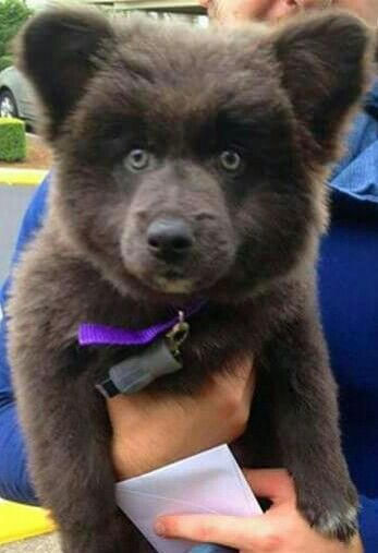 Download Akita Chubby Adorable Dog - e36a2f524b06f657a4a389d540d9130b  Image_38244  .jpg