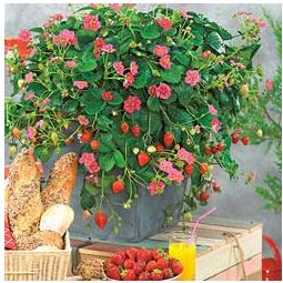 Toscana strawberry plant strawberriez pinterest plants online toscana strawberries have beautiful pink flowers not to mention the sweet juicy berries mightylinksfo