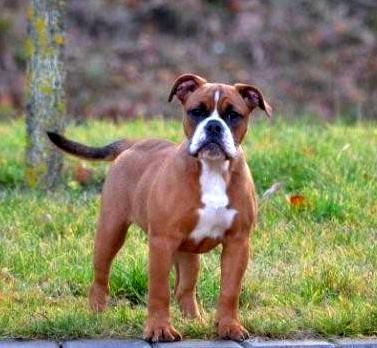 Continental Bulldog Bully Dog Cute Dogs Dogs