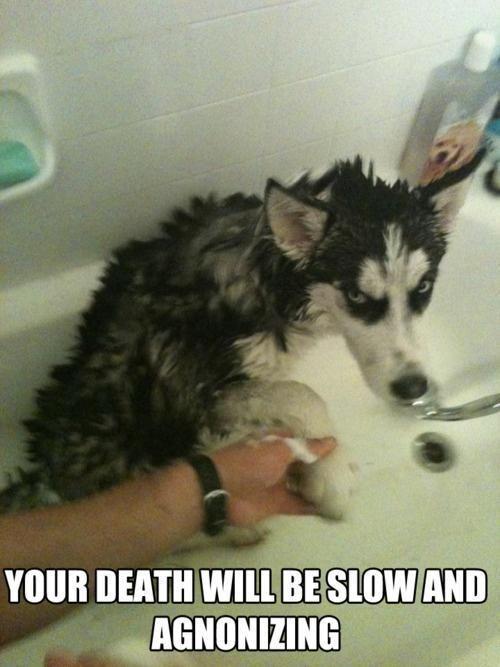 Mad Dog Bath Meme Slapcaption Com Dog Quotes Funny Husky