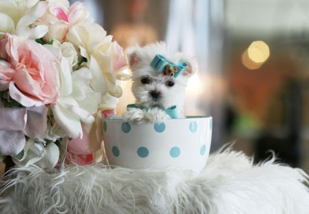 Marvelous Marvin the Pocketbook Maltese is For Sale #pocketbook #puppy #dog #maltese #forsale #cute