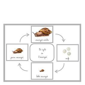 Zoologie pour plus tard le cycle de l escargot boutique 39 39 documents montessori 39 39 sciences - Escargot maternelle ...