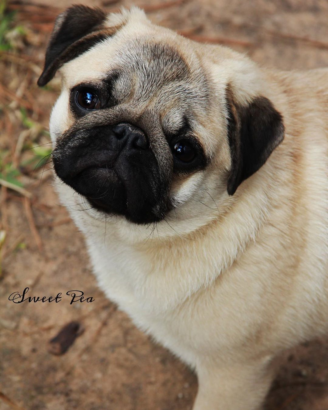 Pin By Lilie On Puppies Pug Dog Dogs Pugs