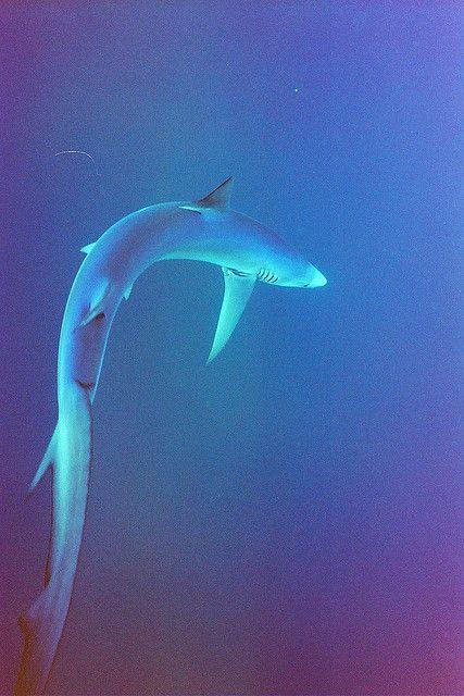 Blue Shark off the RI coast by tkelly