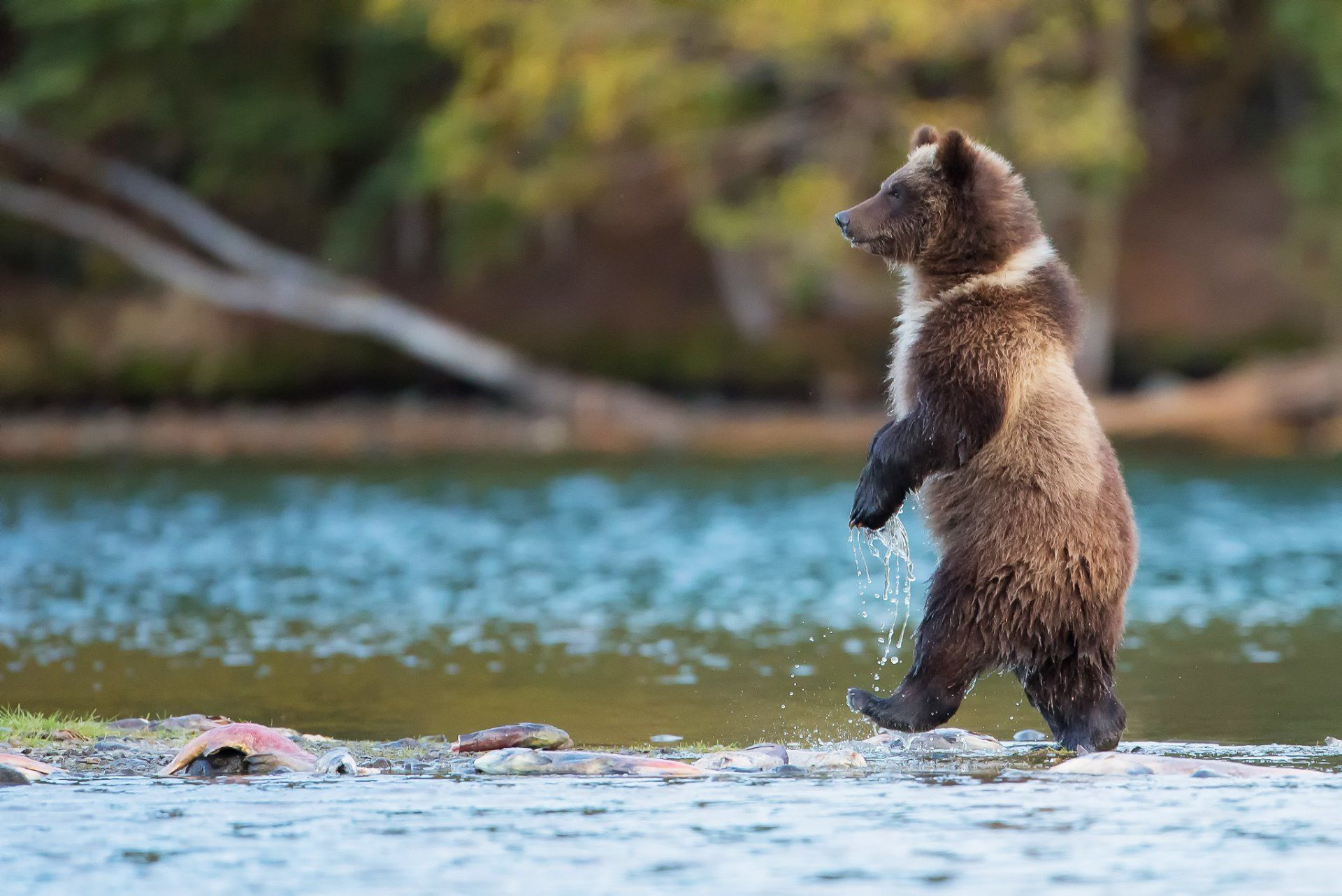bear grizzly predator is canada river water fish nature ...