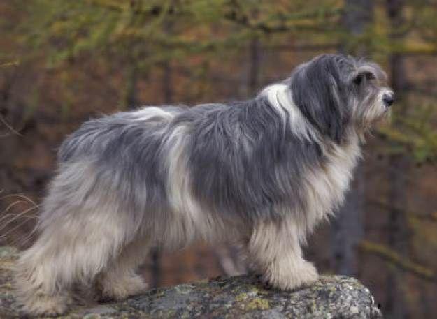 The Polish Lowland Sheepdog 20 Outstanding Herding Dog Breeds