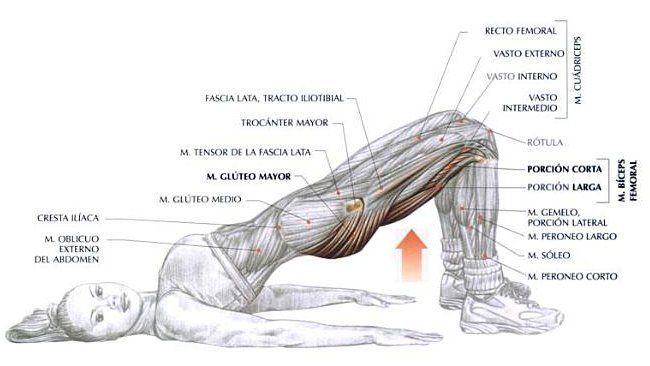 Zona Fitness: Anatomía de un Buen Ejercicio para Glúteo | ejercicios ...