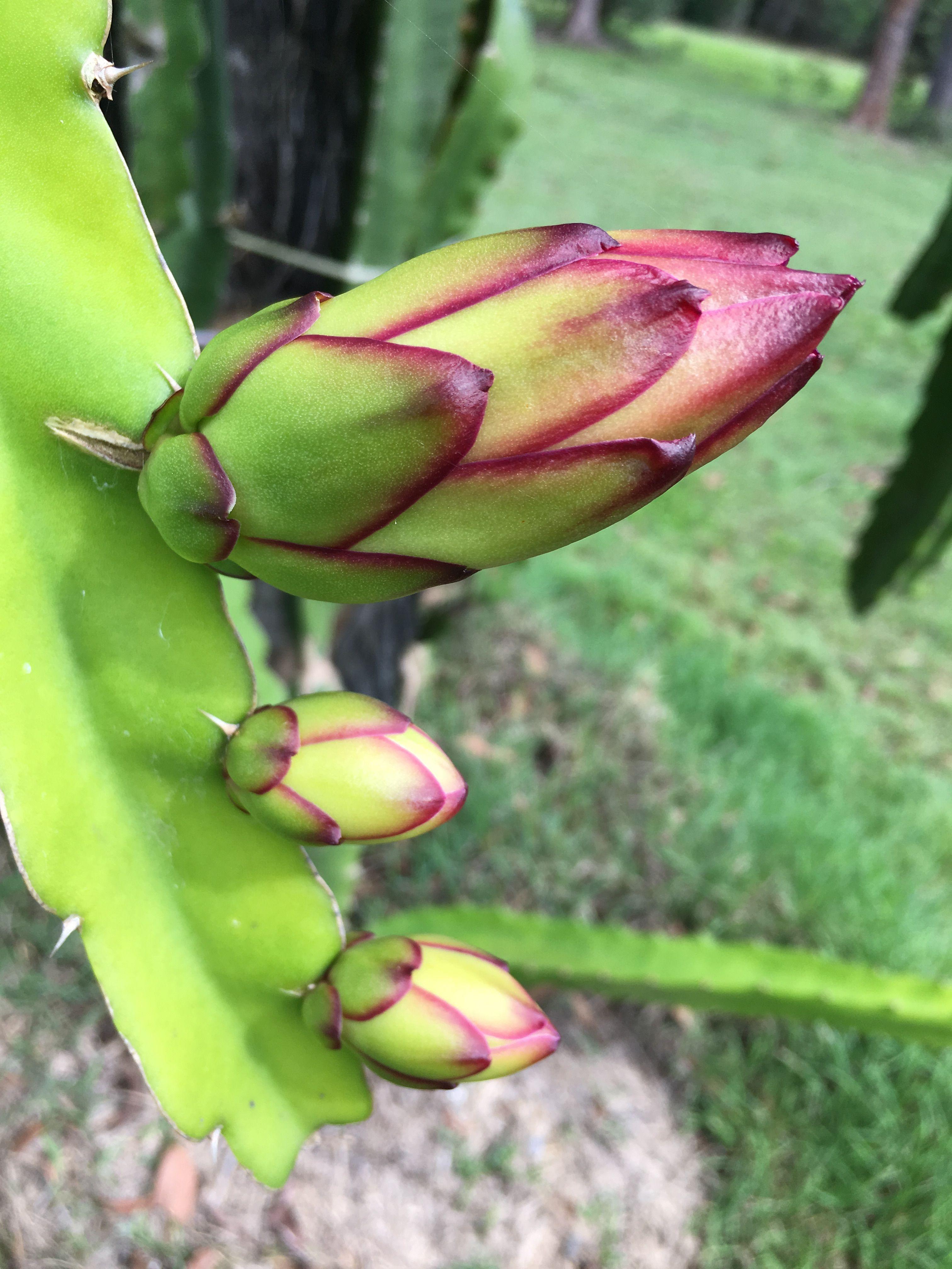 Dragon Fruit Buds Plante