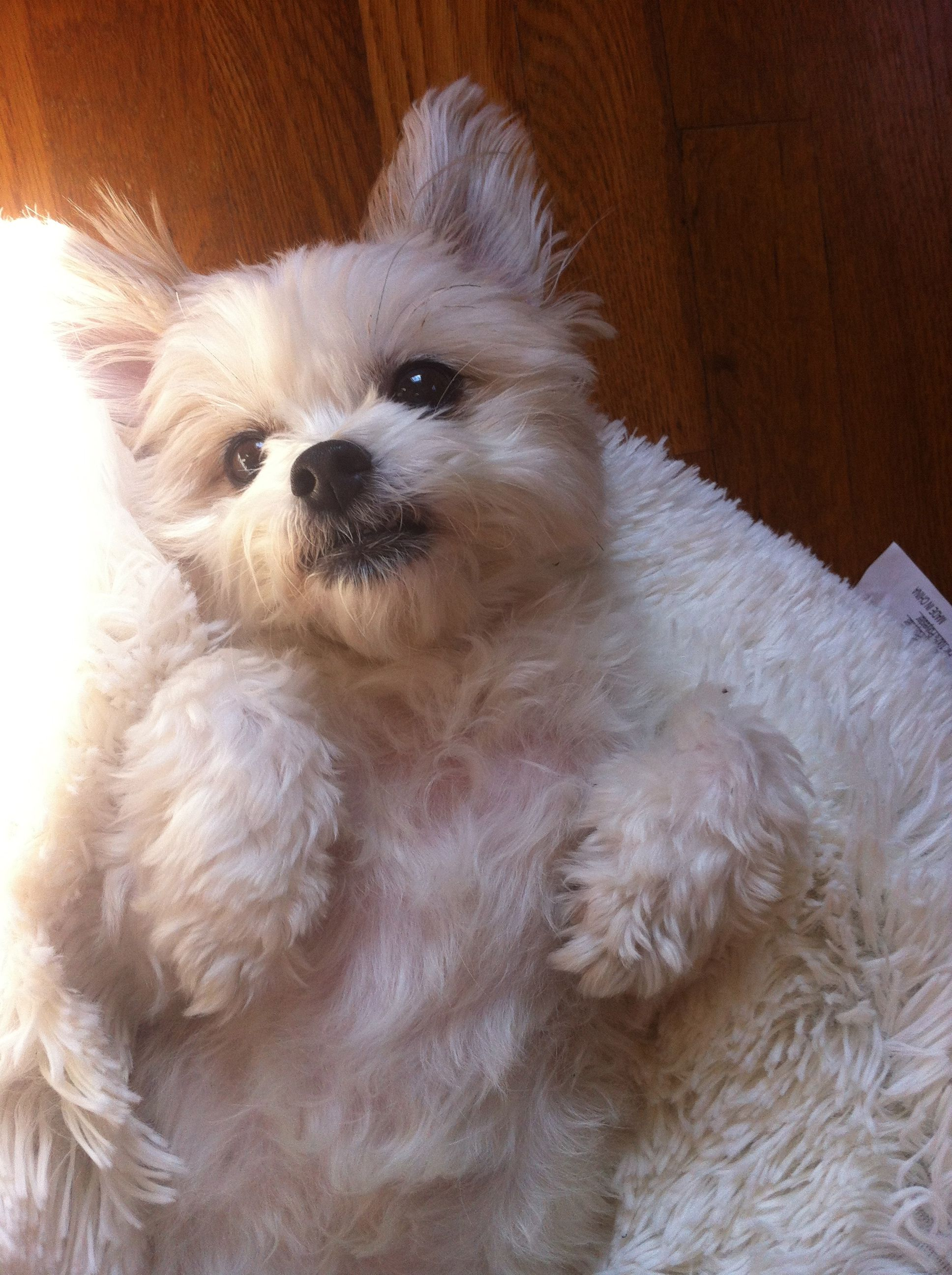 My miki puppy on his fluffy white pillow Cute dogs and
