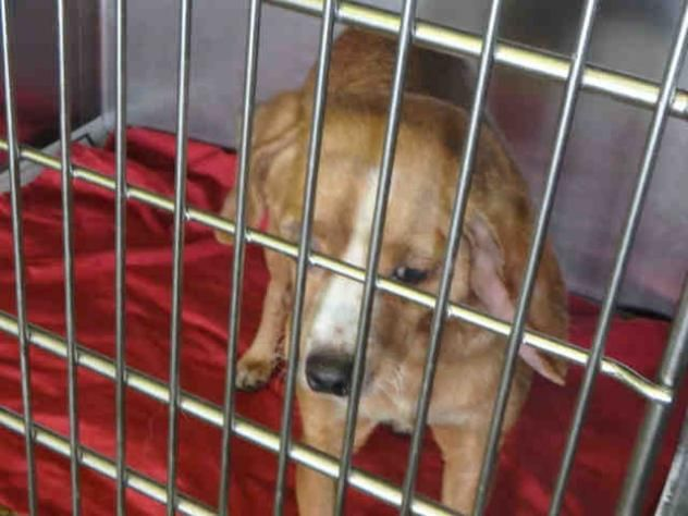 Skippy Urgent City Of Los Angeles South La Animal Shelter In Los Angeles Ca Dachshund Adoption Dogs Dog Adoption