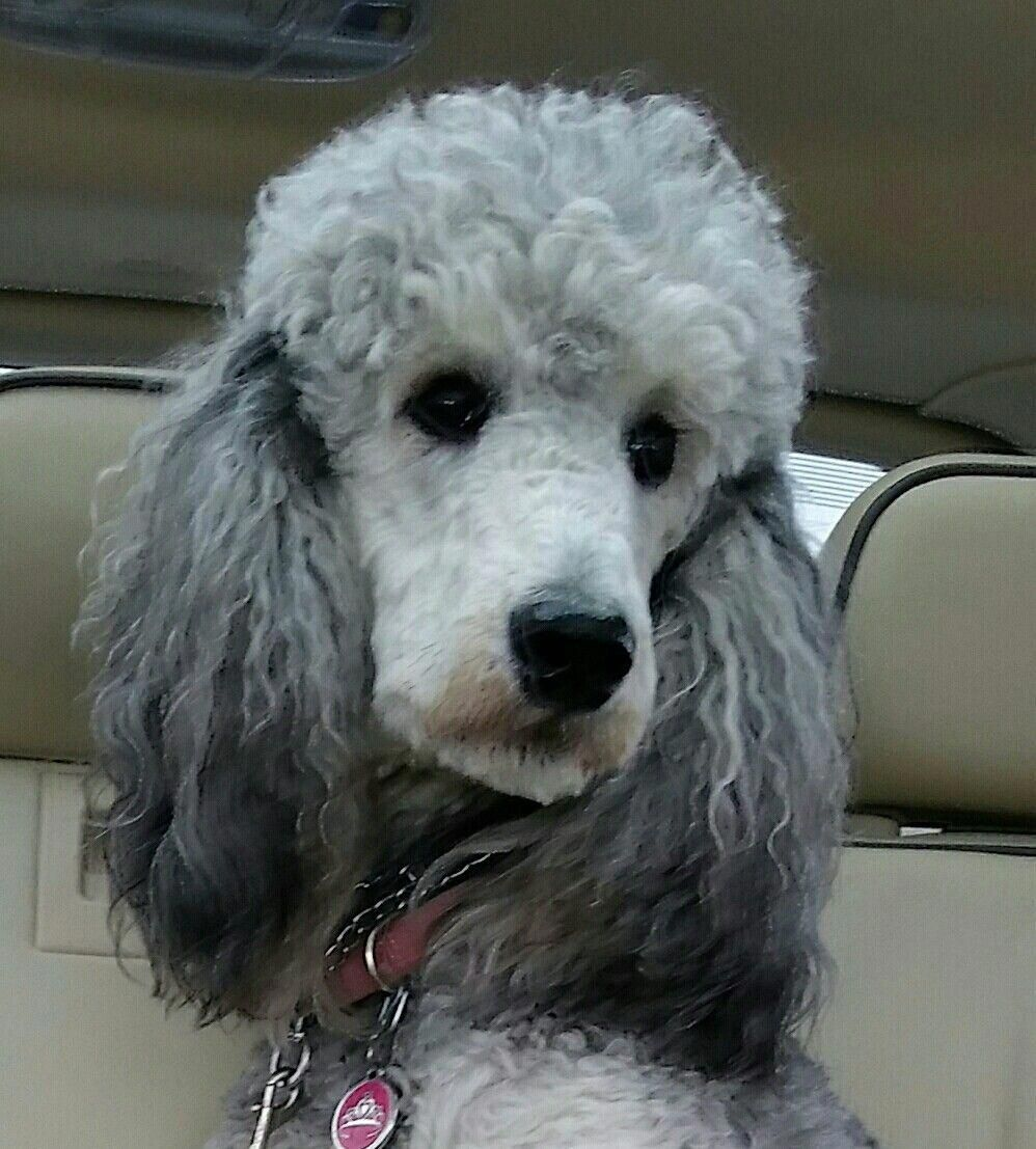 Discover The Active Poodle Health Poodle Poodlegram