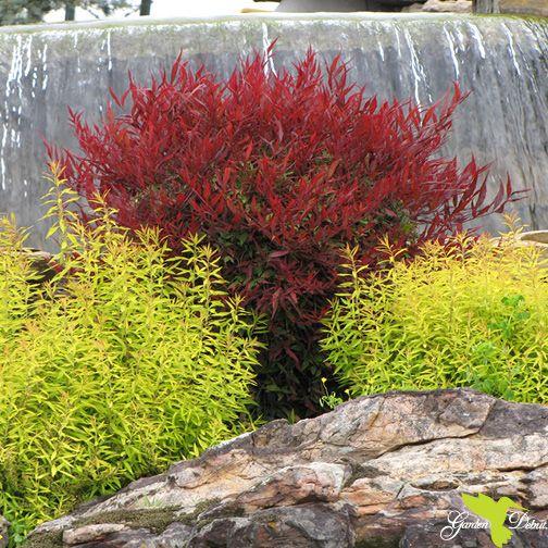 garden debut u00ae gold thread u2122 spiraea and all