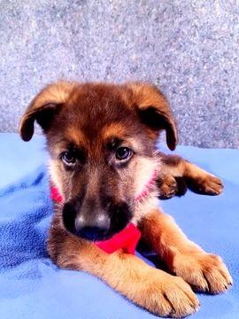 German Shepherd Dog Puppy For Sale In Louisburg Nc Adn 33263 On