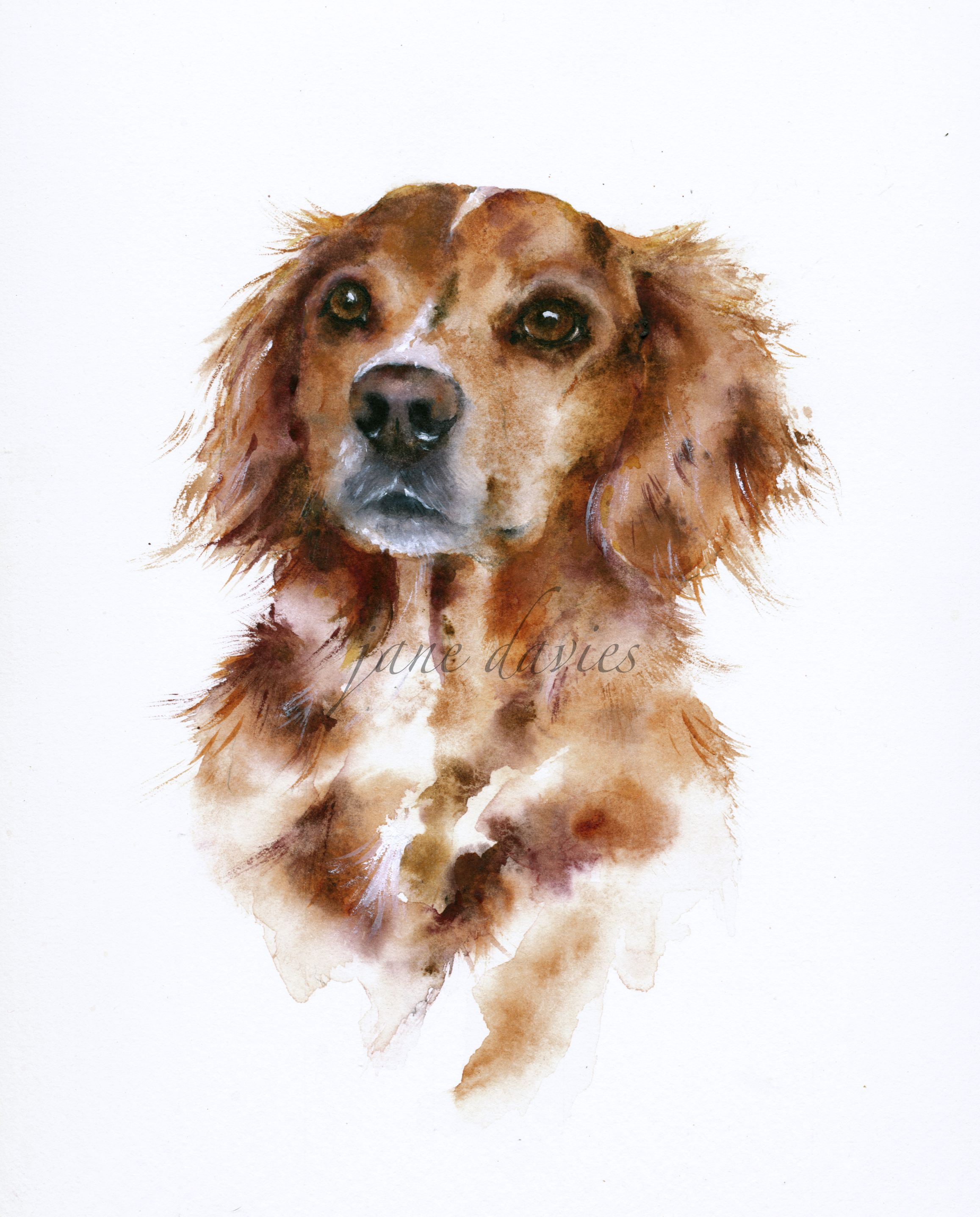 Pet Portrait Of A Spaniel Cross Painted In Watercolour By Artist Jane Davies