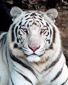 Sydney White Tiger Shifter Tiger Pictures White Tiger