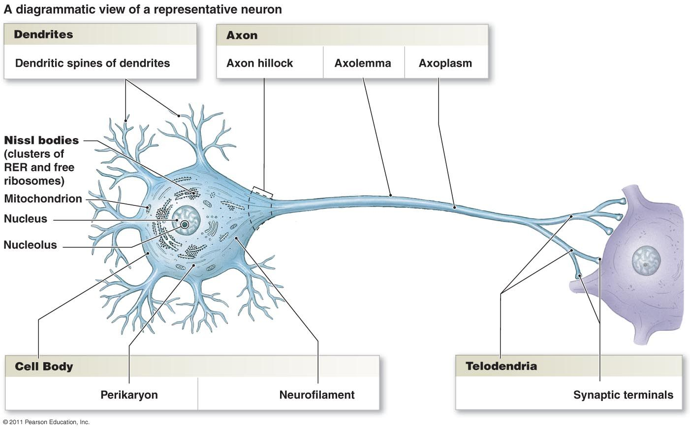 diagrammatic view of a representative neuron neurons nervous system neuroscience biology diagram [ 1402 x 875 Pixel ]