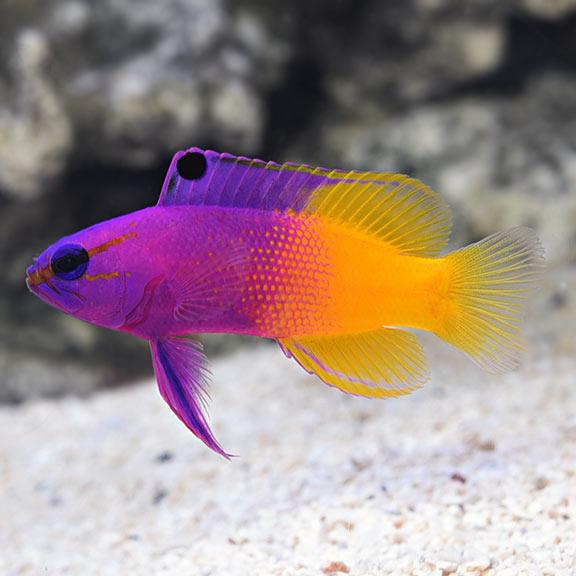 Royal Gramma Basslet Aquarium D Eau Salee Elevage De Poissons Poisson De Compagnie