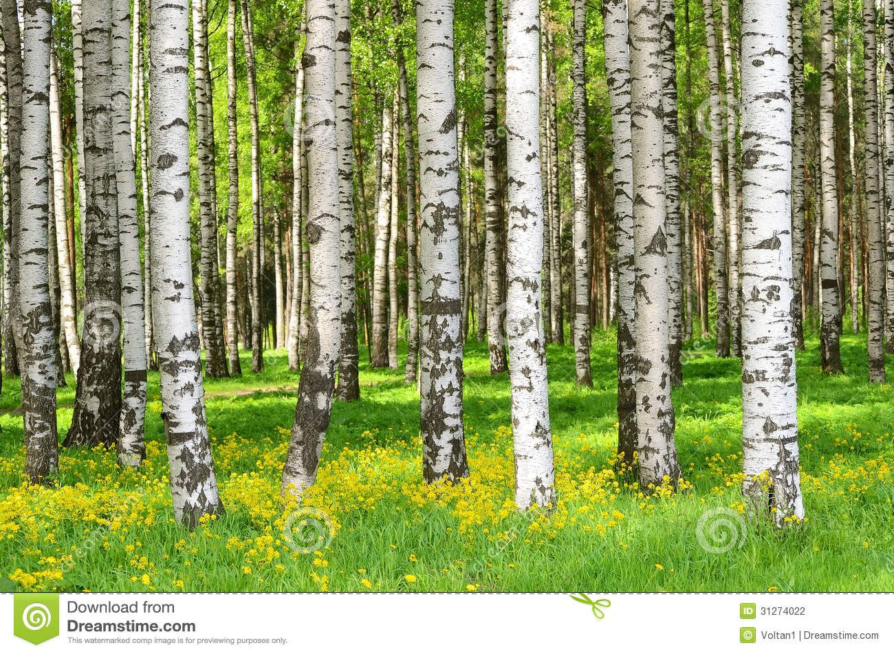 Images Of Birch Trees In The Spring Birch Trees In The Spring
