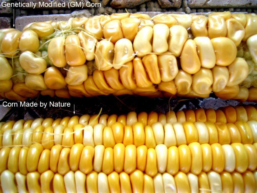 Contemporary Issue 1 GM food(s) pros and cons Gmo corn