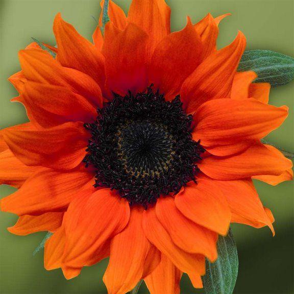 Photography Of Flowers Orange Sunflowers Flowers Photography Pink Sunflowers