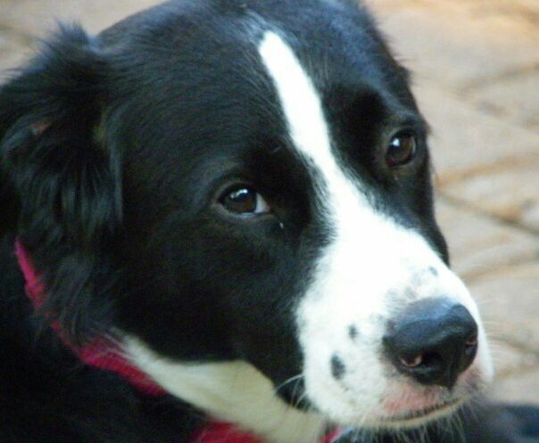 Non Working Border Collie Kate Needs A Home Border Collie