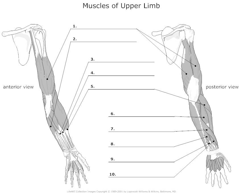 Muscles of Upper Limb Unlabeled | Muscles | Muscles of