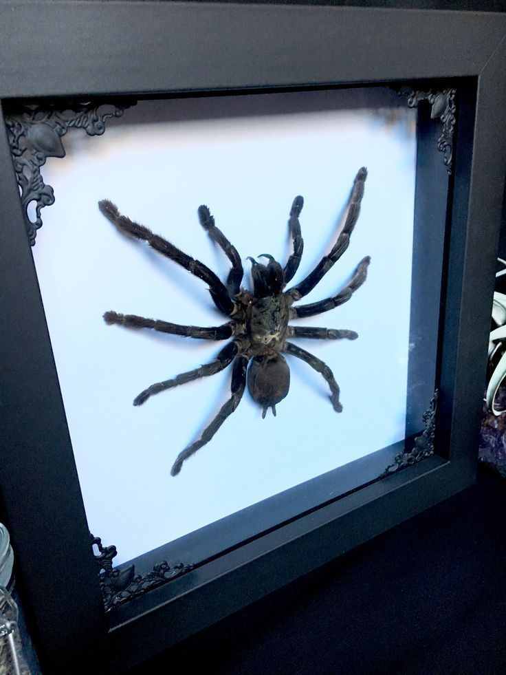 Photo of Taxidermy, Oddities, Curiosities, Unique Gifts, Gothic Décor, Macabre Art, Butt…