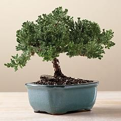 juniper bonsai #redenvelope and #fathersday