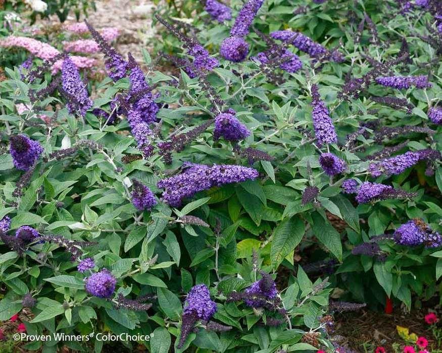 Buddleia Pugster Blue Bluestone Perennials Purple Shrubs Butterfly Bush Perennials