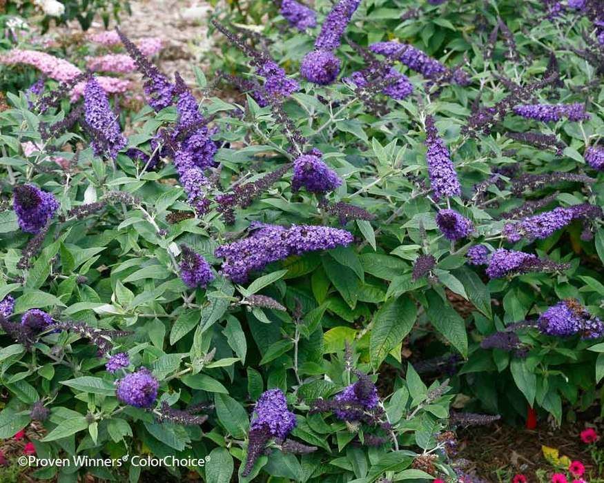 Buddleia Pugster Blue Butterfly Bush Purple Shrubs Buddleia