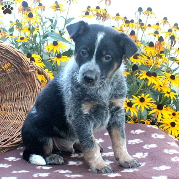 Arlington Jack A Poo Puppy For Sale In Pennsylvania Cattle Dog Puppy Australian Cattle Dog Puppy Blue Heeler Puppies