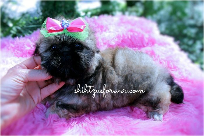 Imperial Shih Tzu Puppies For Sale Alabama Visit Our Website Http