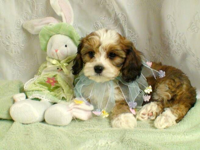 Cavachon Puppy Cavachon Puppies Cavachon Puppies