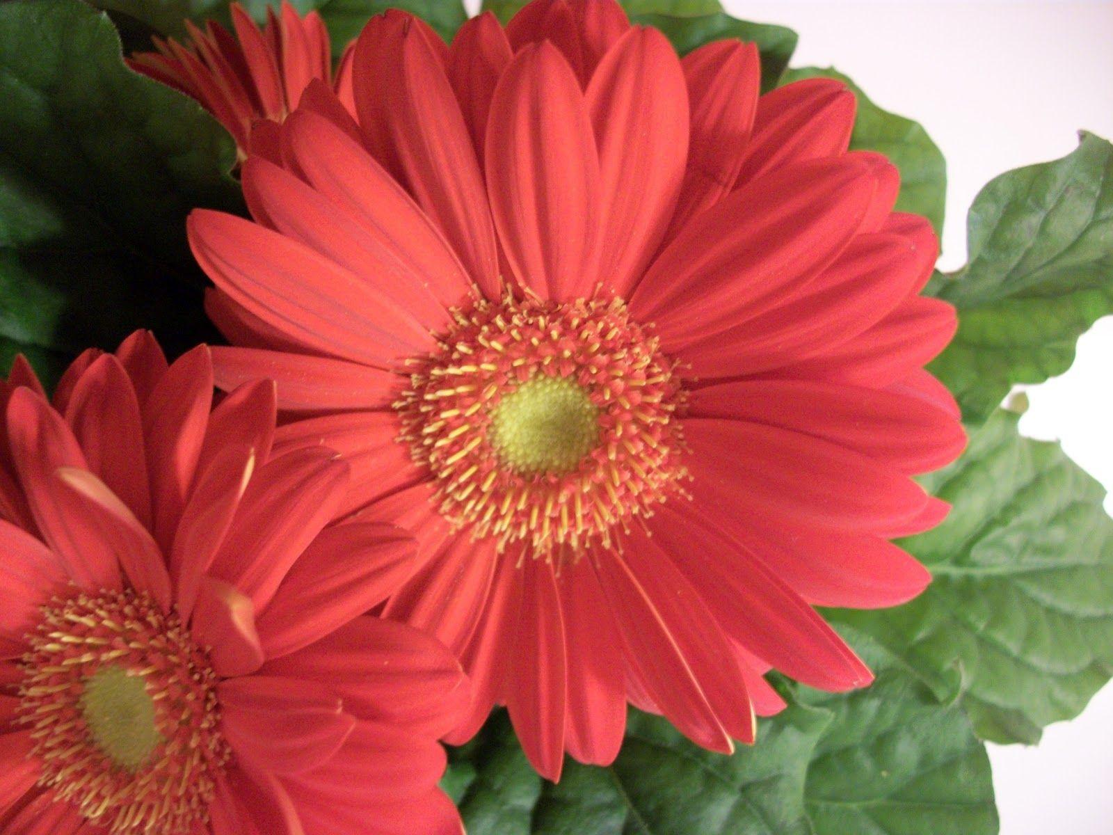 Gerbera Daisy Gerbera Gerbera Daisy Most Popular Flowers