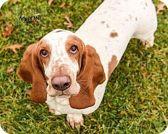 Cincinnati Oh Basset Hound Meet Droopy A Dog For Adoption Basset Hound Dog Adoption Basset