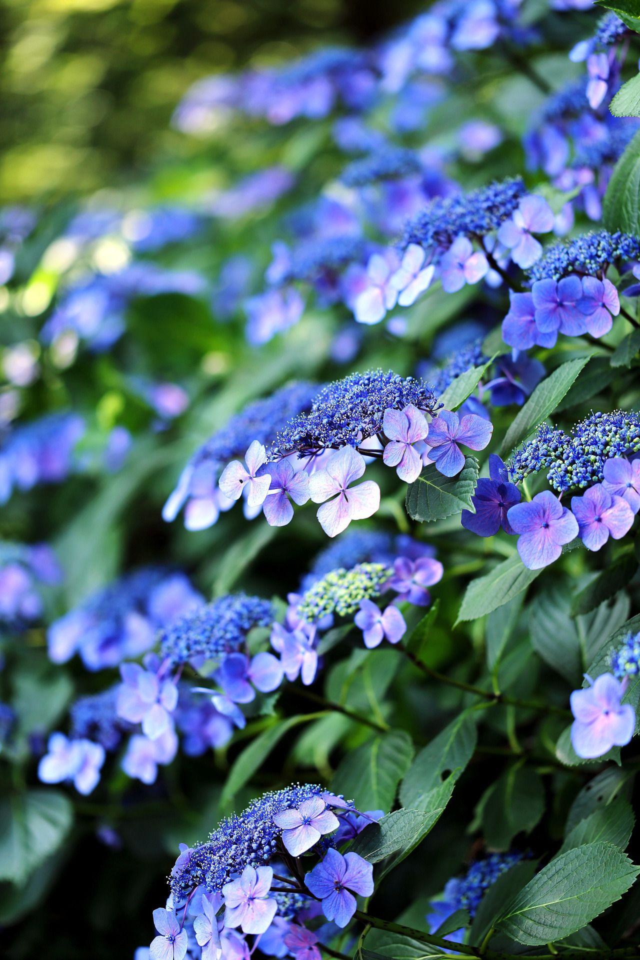 Hydrangea Beautiful hydrangeas, Hydrangea garden