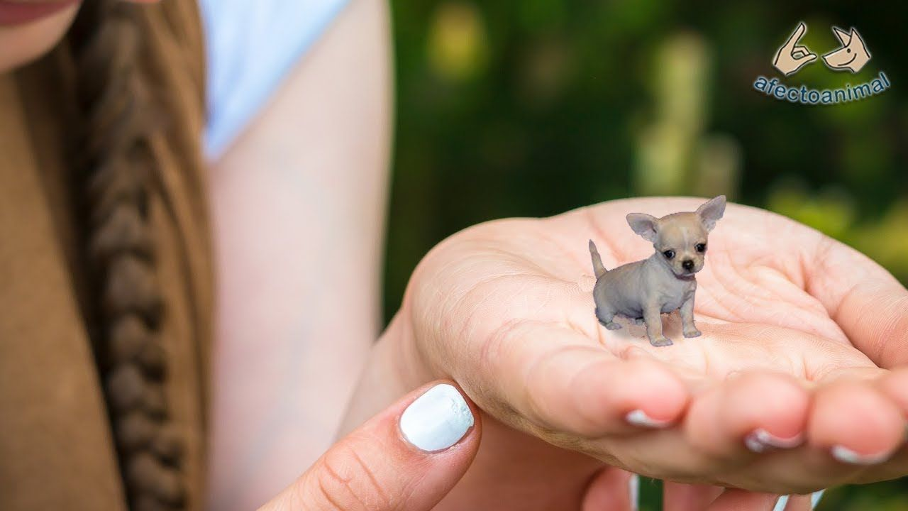 Photo of Adorable! The smallest and most tender dogs in the world 2019