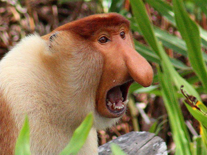 Hässlicher Affe