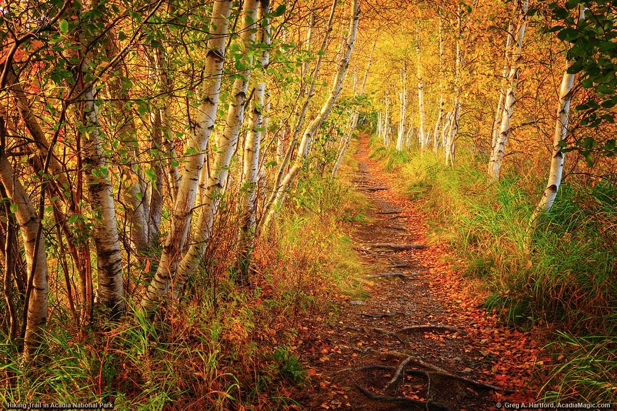 Jesup path walking trail with white birch trees in acadia
