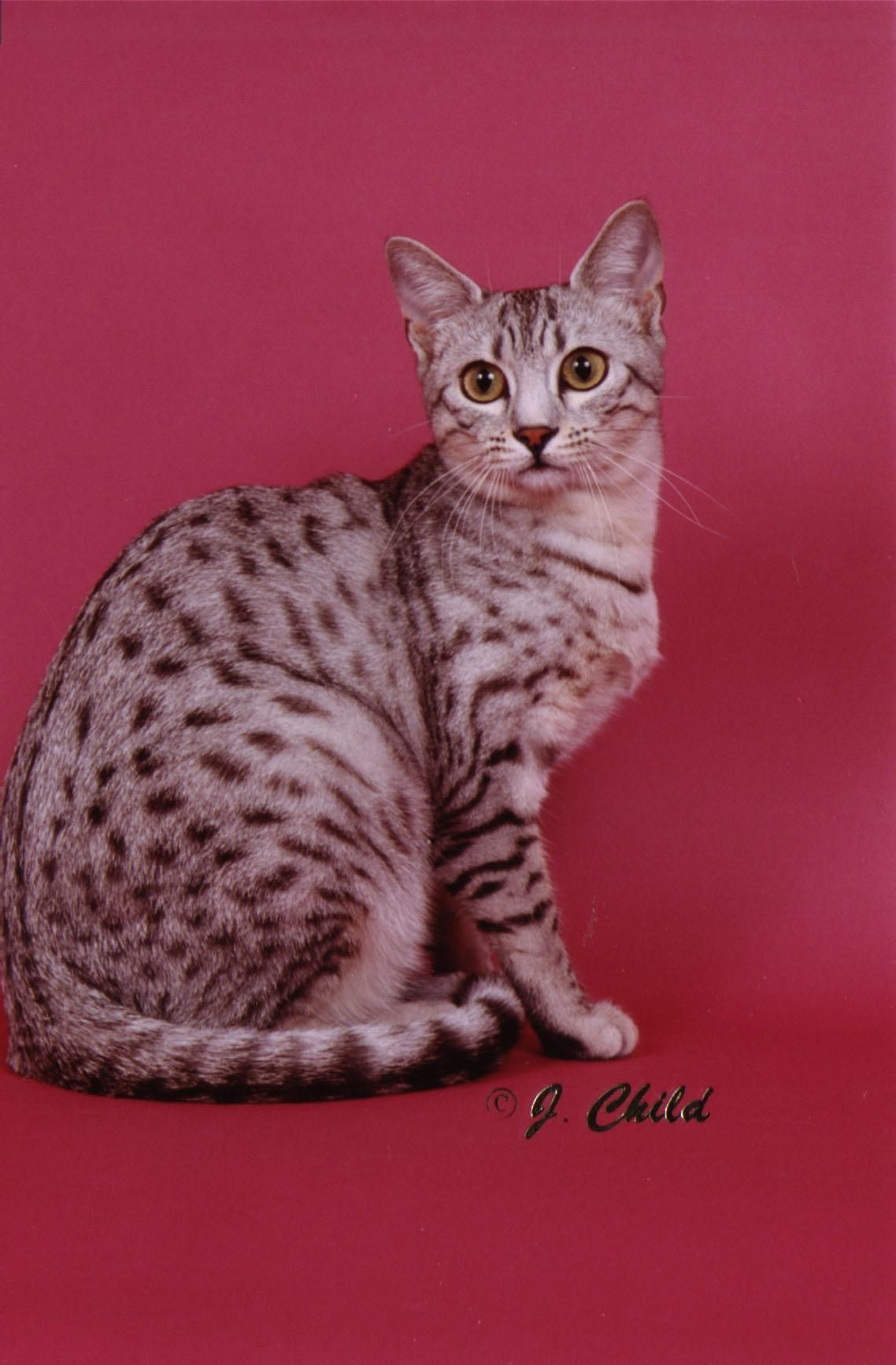 Egyptian Mau cat- I will have one some day. | Egyptian cats ...